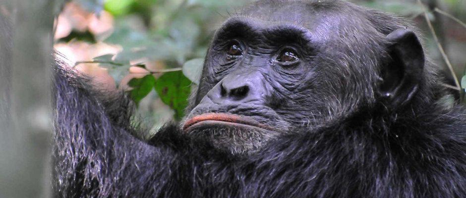 Chimp tracking in Kibale Forest National Park - Uganda