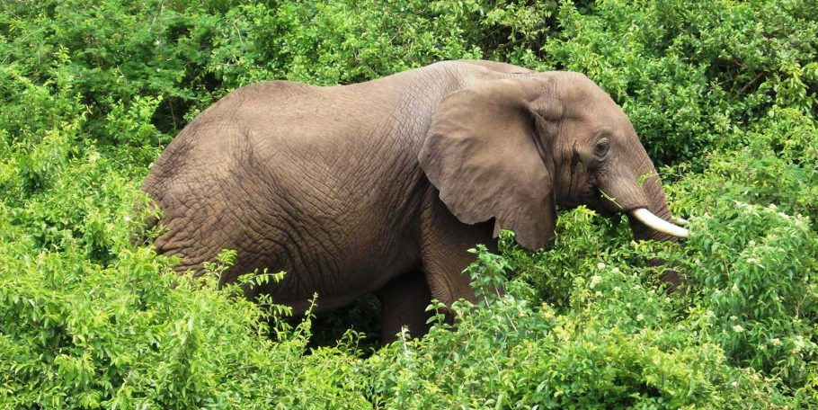 Elephant in Murchison Falls National Park