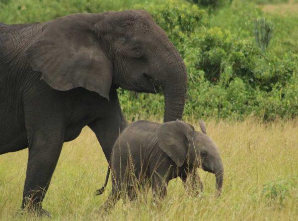 7 Days Mountain Gorilla, Chimpanzee and Game Viewing Safari in Uganda