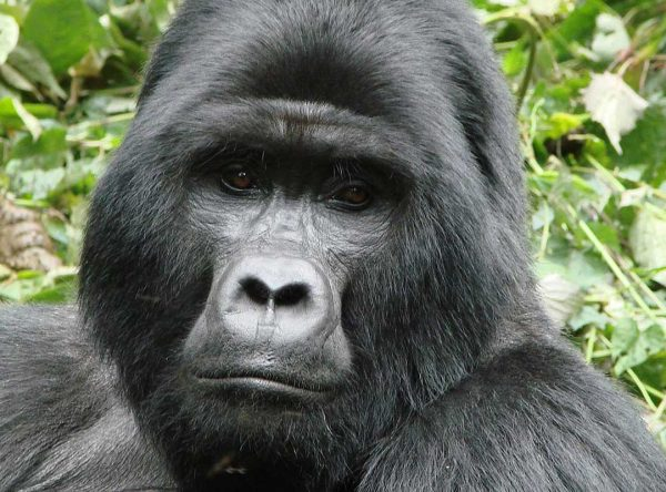 5 Days Bwindi Impenetrable Forest, Queen Elizabeth and Kibale Forest National Parks